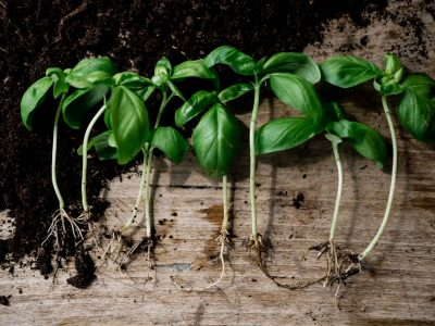 Langlebiges Basilikum selbst züchten und pflegen