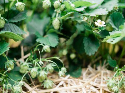 Erdbeerpflanzen mit Stroh mulchen