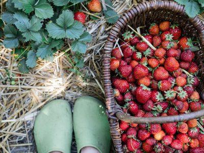 Was Erdbeerpflanzen brauchen