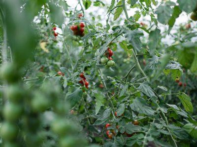 Tomaten - Vermehren, pflegen, ernten Teil 1: Saatgutgewinnung