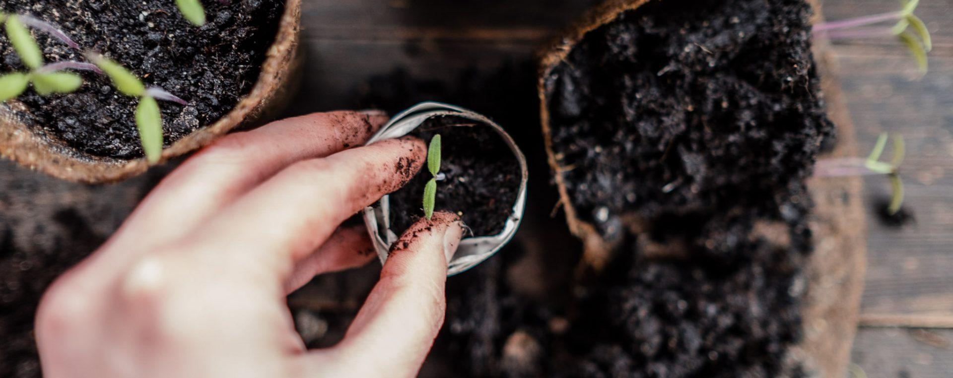 Tomaten Vermehren Pflegen Ernten Teil 3 Pikieren Und Topfen