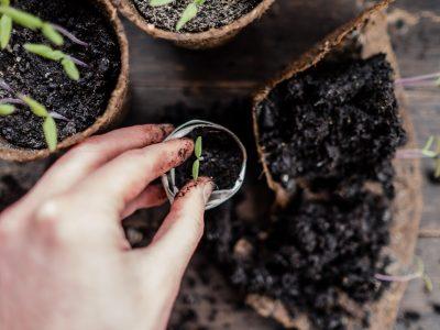 Tomaten - Vermehren, pflegen, ernten Teil 3: Pikieren und topfen